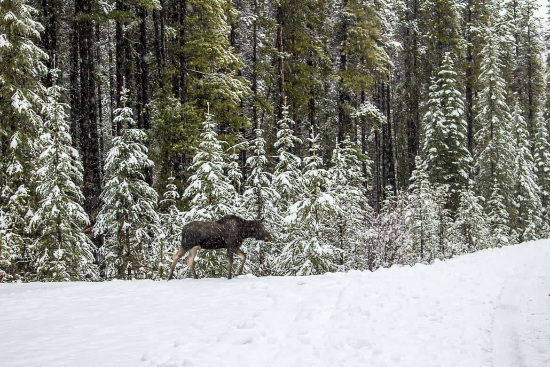 Moose off the highway in Alberta