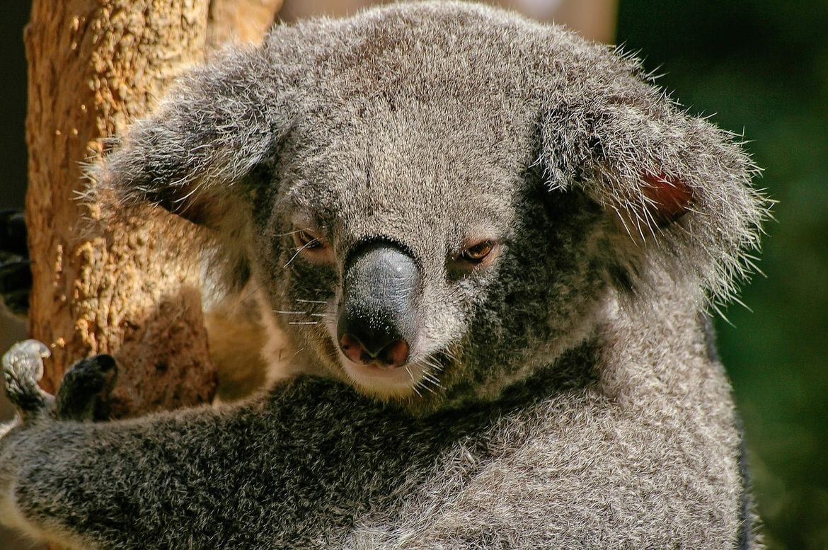 koala on an east coast australia road trip pxby