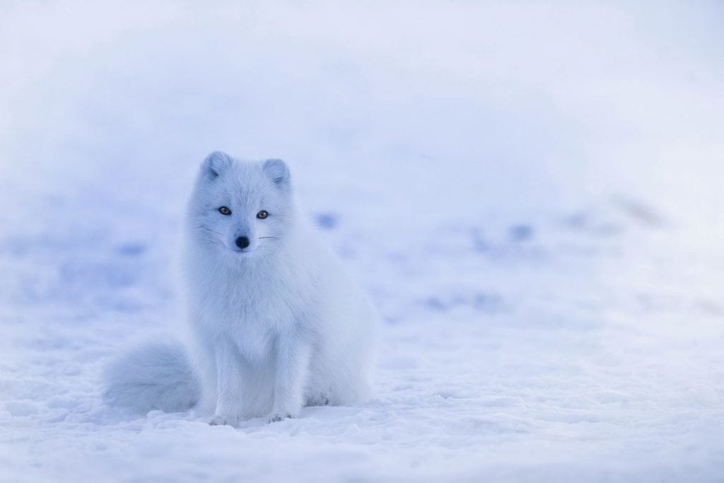 Arctic fox on an Iceland Family Vacation