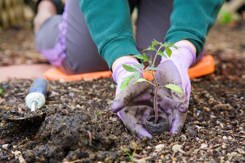 planting tomato seedlings in the garden