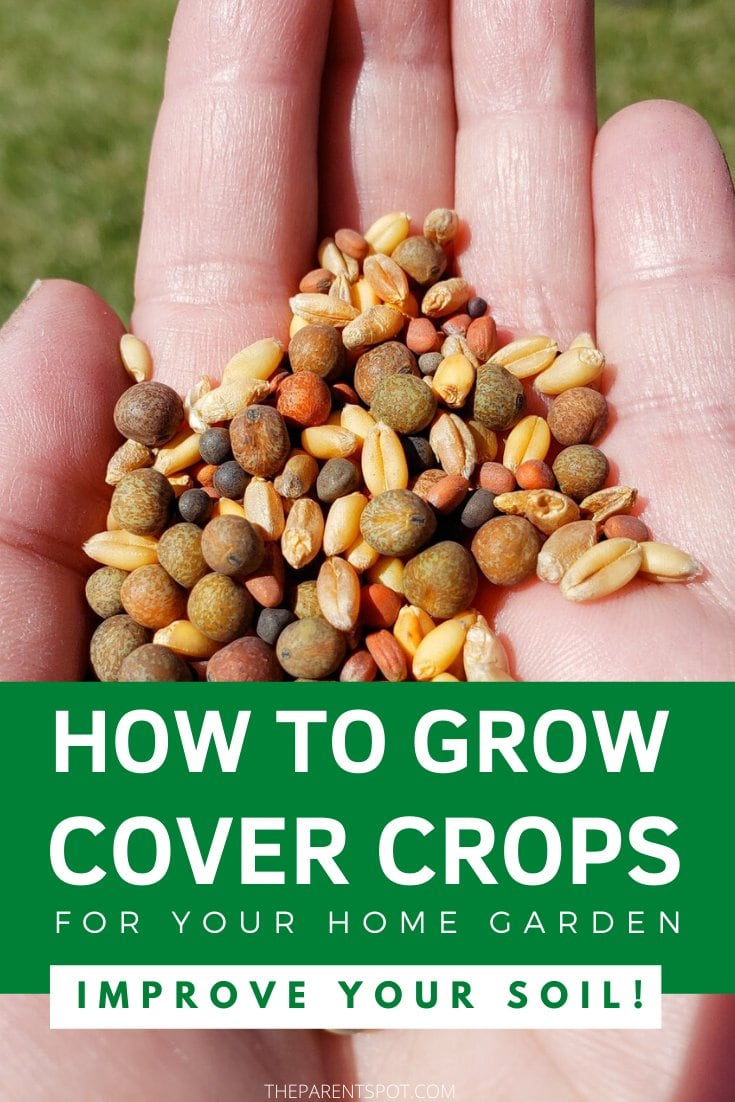 How to grow cover crops for your home garden to improve your soil. cover crop seeds in the palm of the hand