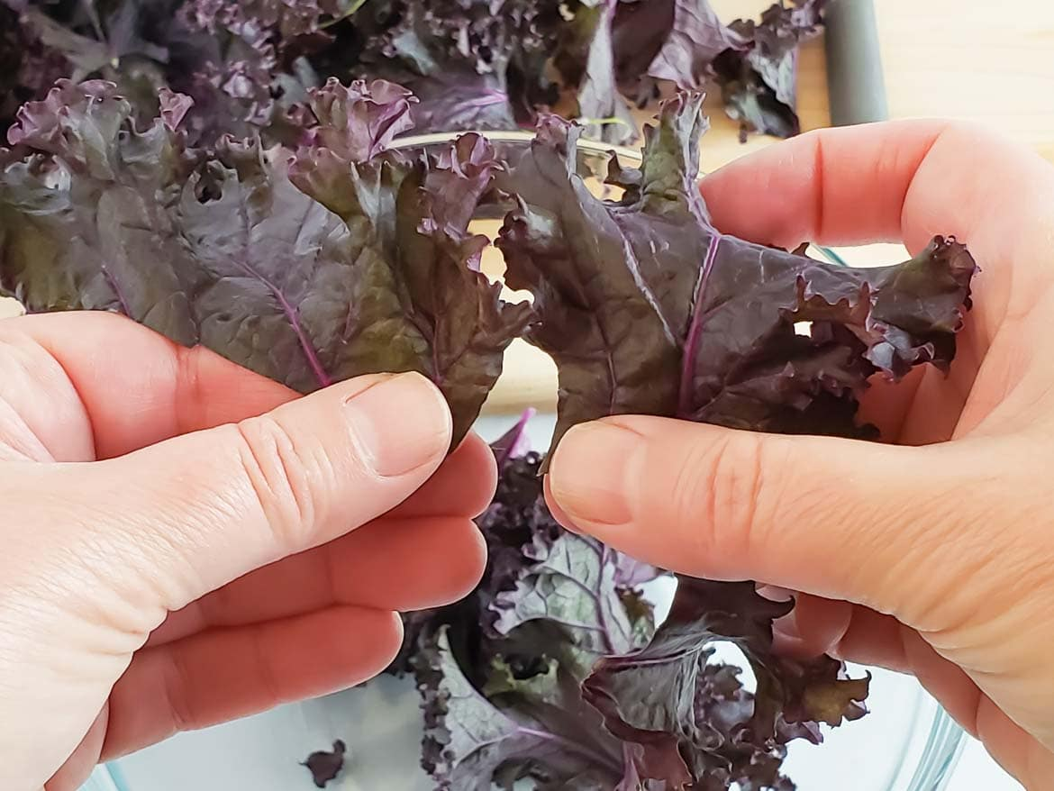 tearing purple kale leaves