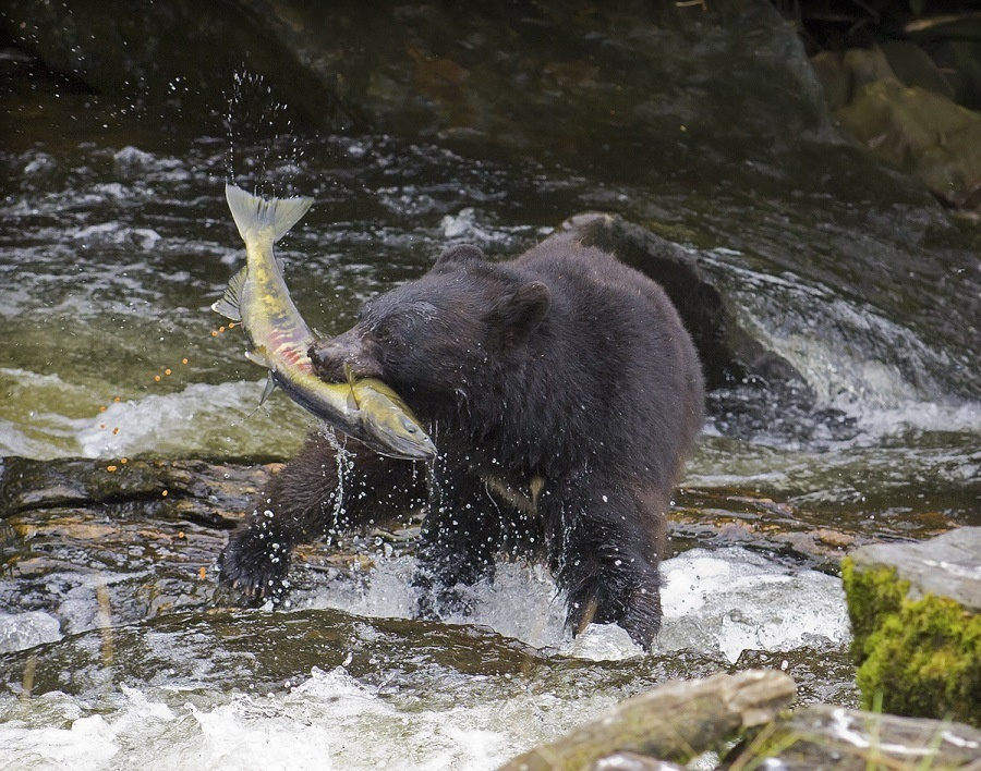 How to fly for free with waterfall resort in alaska for Bear catching fish