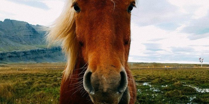Icelandic Horse photo by messicanbeer on Flickr
