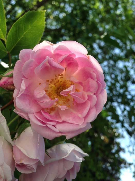 Value Village beautiful pink rose