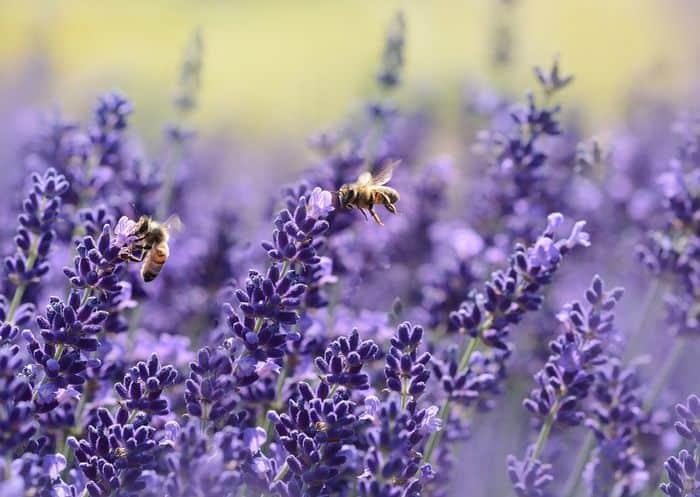 Edible Flower Garden For Kids lavender