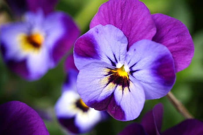 violet edible flowers for garden with kids